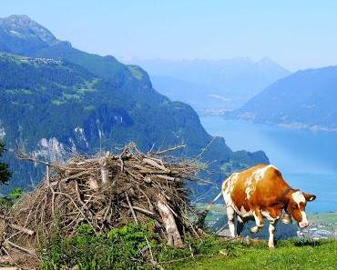 Die Kuh wollte mit aufs Horn
