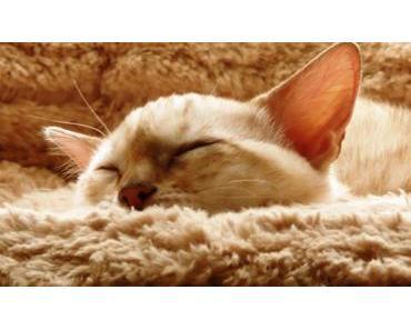 Fiebermessen bei der Katze – so klappt es problemlos