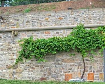 Wussten Sie, dass in Erfurt Wein in einem Weinberg am Petersberg angebaut wird?