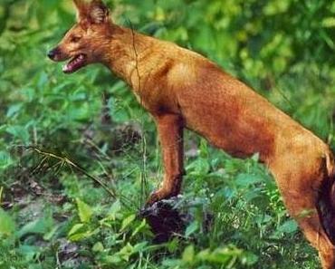 Der wilde Hund • Vergessene Vorsätze • Fabel von Aesop