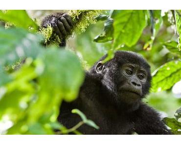 Keine Teeplantage beim Gorilla-Nationalpark
