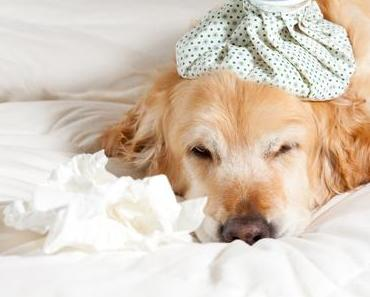 Erkältungskrankheiten beim Hund