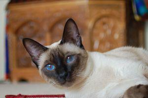 Siamkatze – älteste Katze der Welt