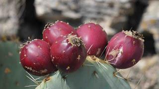 Foto mit Kaktusfeigen | Eine Delikatesse der besonderen Art