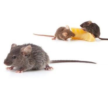 Mäuseplage im Buschhaus