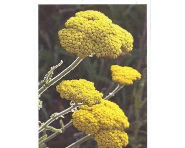 Wissen   Schafgarbe -  Achillea millefolium