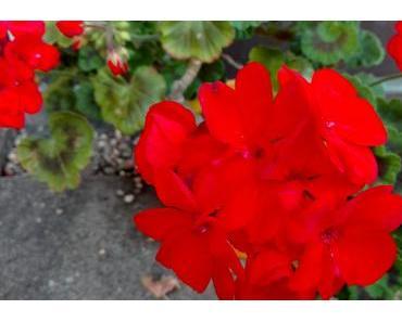 Foto: Rote Geranien