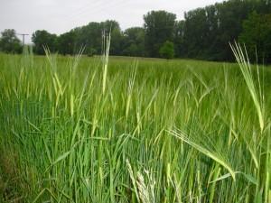 Gefahr durch Weizen – was ist dran? (Teil 5)