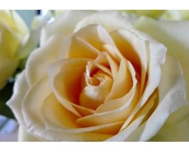 Foto: cremefarbene Rose