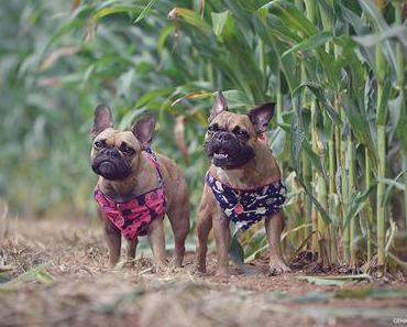 Geheime Wege im Maisfeld