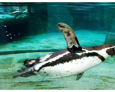 Tag der Pinguine in den USA – der amerikanische Penguin Awareness Day