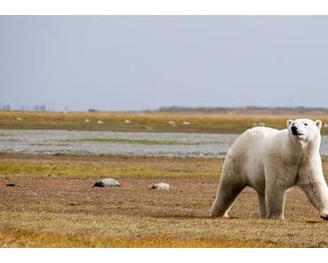 Welteisbärentag – International Polar Bear Day