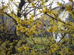 Blühende Sträucher im März