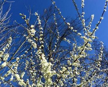 Foto: Die ersten Obstbäume blühen