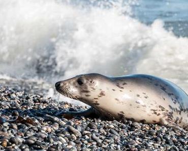 Internationaler Tag der Seehunde – International Day of the Seal