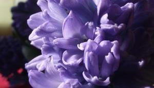 Foto: Hyazinthenblüten Blau
