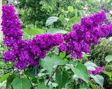 Wear the Lilac Day – Gedenktag der Glorreichen Revolution in Ankh-Morpork