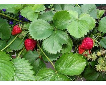 Foto: Die letzten Erdbeeren