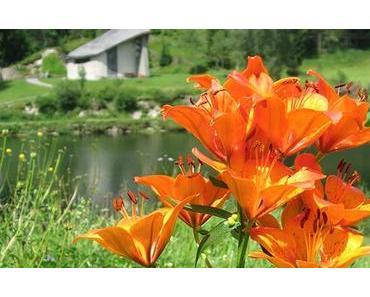 Bild der Woche: Feuerlilie mit 11 Blüten