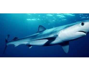 Hai verletzt einen Touristen – griff ihn aber wohl nicht an