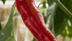 Wofür sind eigentlich sekundäre Pflanzenstoffe gut?