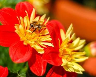 Tag der Honigbiene – der US-amerikanische National Honey Bee Day 2017