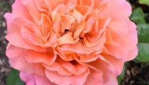 Rosen Marmelade