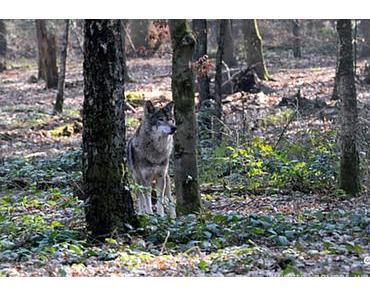 In Sachsen soll schon wieder ein Wolf erschossen werden !
