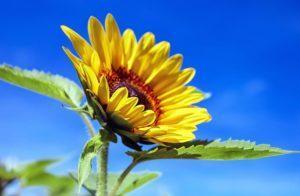 Sonnenblume Steckbrief