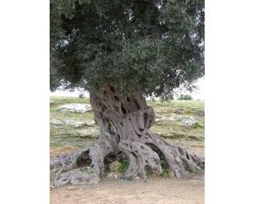 Olivenblatt-Extrakt gegen Gicht