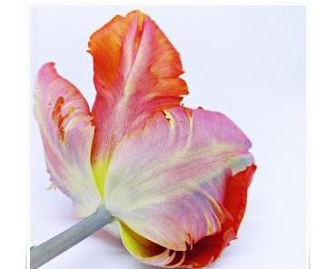 im Tulpenfieber