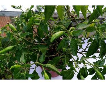 Foto: Chilies am Strauch
