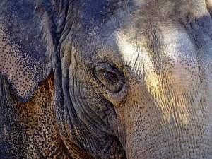 Löwe, Prometheus Elefant