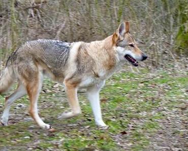 6 Wolfshunde ausgebrochen