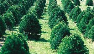 Nachhaltiger Weihnachtsbaum: Biotanne oder Weihnachtsbaum Holz?