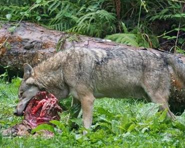 Das Fleisch im Hundenapf