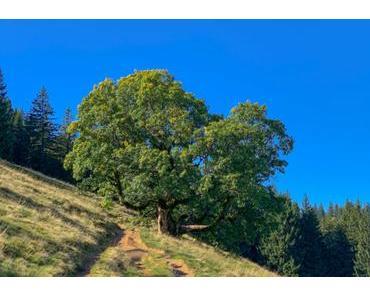 Wandern zu den alten Baumveteranen von Steibis / Allgäu