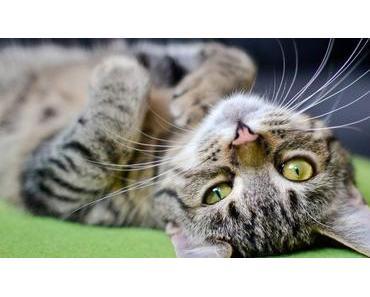 Deine Katze liegt auf dem Rücken? Das will sie dir sagen