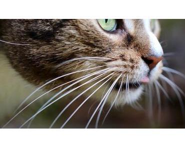 Die Schnurrhaare der Katze: Der faszinierende 6. Sinn