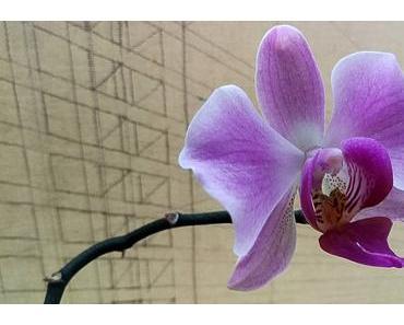 Foto: Phalaenopsisblüte