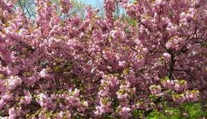 Foto: Zierkirsche voller Blüte