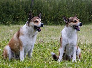 Lundehund - der Ausnahmehund