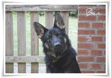 NOTFALL: Schäferhund Ben (14 Monate) soll eingeschläfert werden!