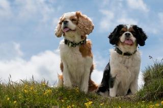 Der Cavalier-King-Charles-Spaniel - Traumhund und Sorgenkind zugleich