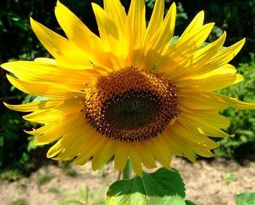 Mach es wie die Sonnenblume!
