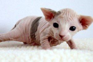 Das Unwesen der Katzenzüchter am Beispiel der Sphynx-Katze