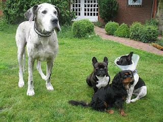 Verantwortungsvolle Zucht - 27 Doggen auf einen Schlag?