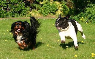 Initiative Gesunde Bulldoggen