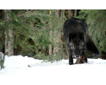Überleben in der Wildnis Alaskas: 'The Grey'