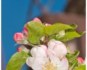 Auf die Kirschblüte folgt die Apfelblüte